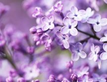 Beautiful purple spring flowers - Blossom trees