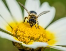 Bee on a flower macro HD wallpaper