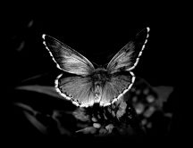 Black and white butterfly - HD wonderful wallpaper