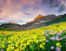 Beautiful yellow and purple flowers on the hill