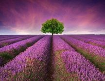 One tree in the middle of the lavender field