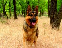 German shepherd dog in the forest
