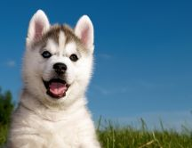 White and happy Siberian Husky in the grass