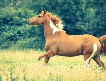 Beautiful brown horse running in wheat field