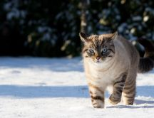 The cat walks through the snow