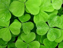 Small water drops on the green lucky clover - HD wallpaper