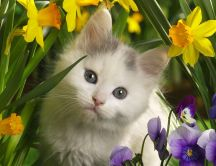 Cute white cat between the daffodils and pansies