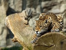 Beautiful leopard in ambush on the log