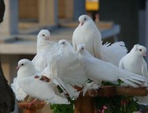 Many white pigeons on the flowers support