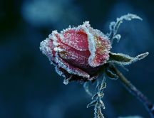 Frozen red rose - Winter time