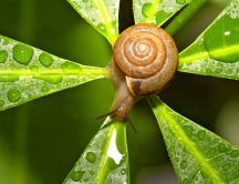 A snail on the green leaf with water drops