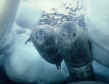 Two sea lions in the ice water - Antarctica wallpaper