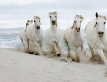 Beautiful white horses running in the sand of the beach