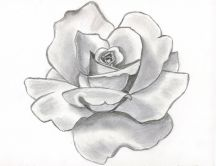 Gray rose drew in pencil - Art wallpaper