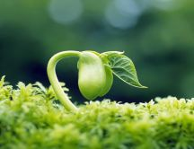 Bean plant out of the ground - Plants wallpaper
