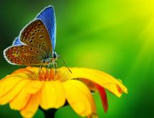 A beautiful brown and blue butterfly on a yellow flower