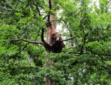 A carpathian bear in a tree in the forest