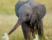 A cute little elephant and many white birds in grass