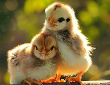 Two sweet little chickens - Birds wallpaper