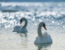 Two white swans on water in sun rays