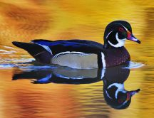 A beautiful colorful duck on the lake