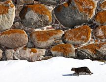 Gray cat walking in the snow