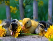 Four yellow and black baby ducks between dandelions