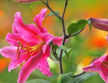 Beautiful pink lily flowers - HD wallpaper