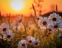 Field with white flowers in the sunset