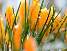 Beautiful yellow crocuses - Flowers wallpaper