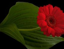 Red Gerbera Flower on a black background