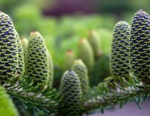 Green pine cones - HD  nature wallpaper