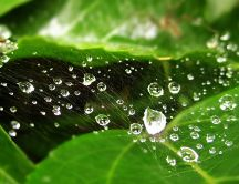 Water drops on spider web over the green leaves