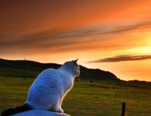 A white Burmese cat looking to sunset