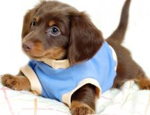 A sweet brown puppy with blue blouse