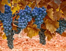 Delicious grapes - Autumn fruits