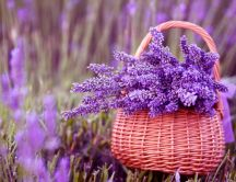 A beautiful bouquet of lavender in a basket
