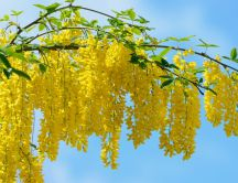 Branch with yellow acacia flowers