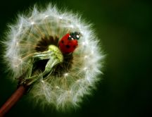 A red ladybug in a dandelion flower