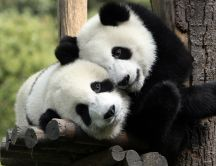Panda bears in love - Sweet animals