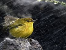 A sweet little bird on a rock in the rain