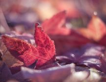 Red leaf of autumn in the light of sun