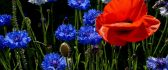 Red poppy and many blue cornflowers