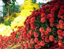 Red autumn flowers - Beautiful HD wallpaper
