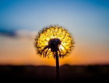 Wonderful sunset behind the dandelion