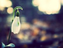 Single snowdrop - Spring season time