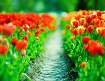 Path through the wonderful red tulips - HD spring wallpaper