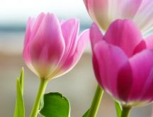 Beautiful pink tulips - spring flowers