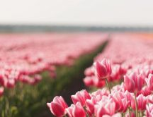 Field full with red and pink tulips - HD wallpaper