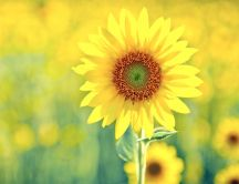 Beautiful sunflower - golden season